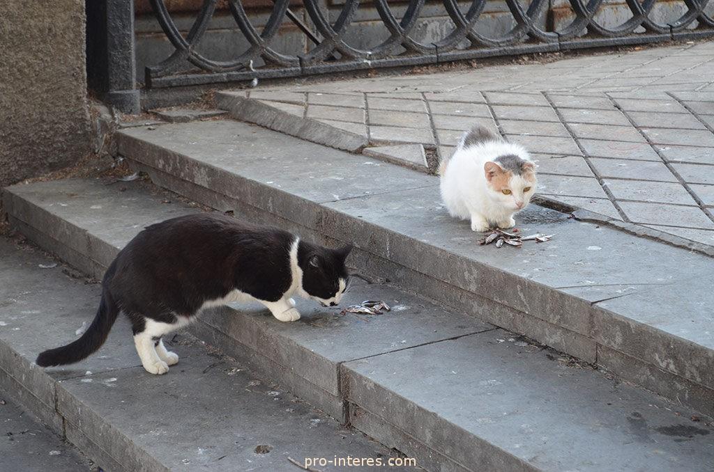 Крымские коты