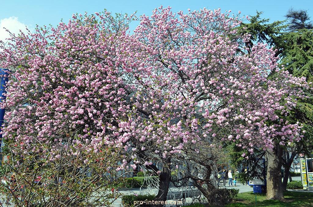 Персиковое дерево на набережной